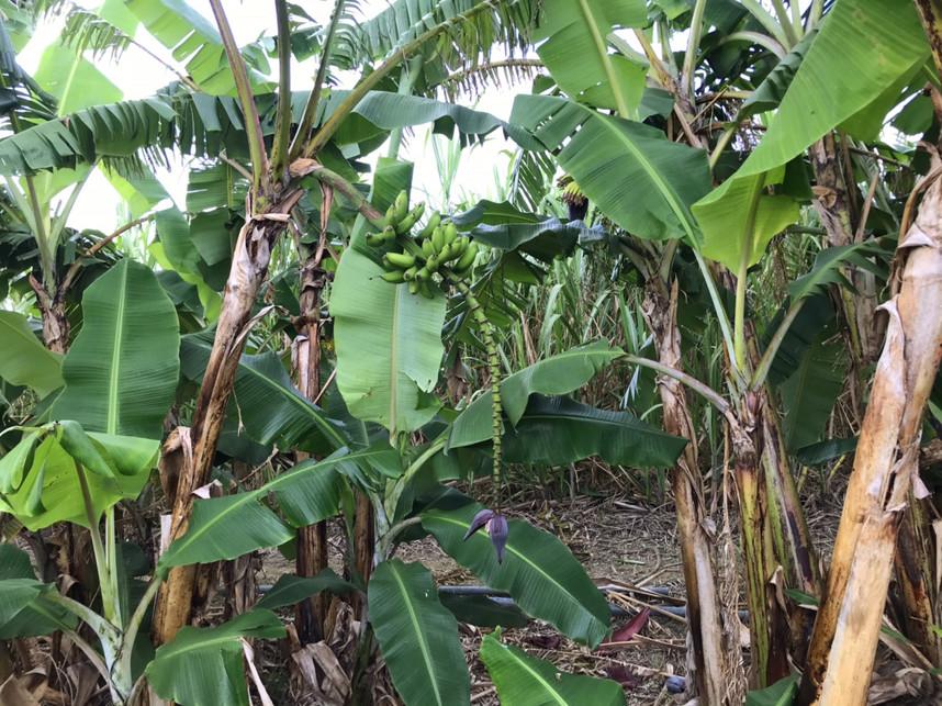 花が咲いたあと、実がなった島バナナ