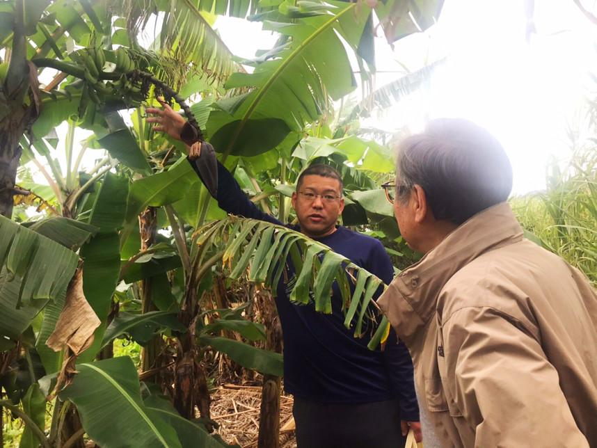 台風の被害でバサバサに切り込みが入ってしまった島バナナの葉
