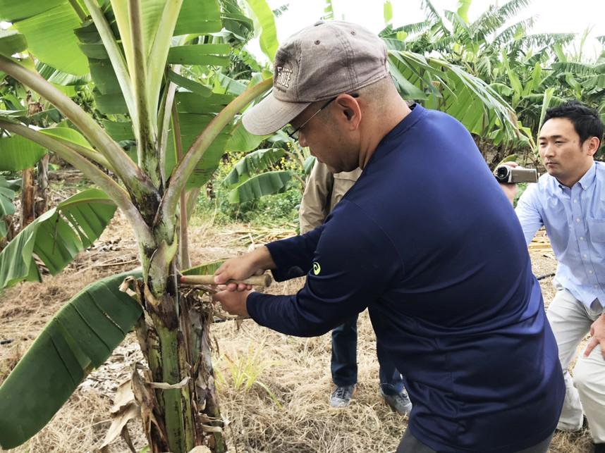 島バナナの古い葉を切り落とす仲座ファームさん