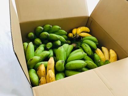沖縄から送っていただいた「台風でも倒れなかった島バナナ」10kg