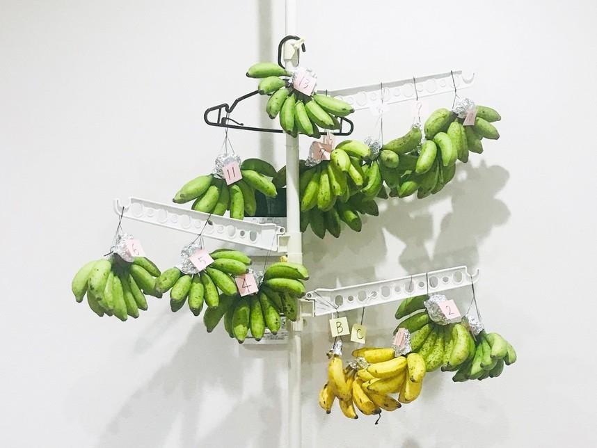 島バナナツリー 島バナナ追熟ツリー