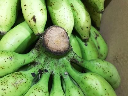 島バナナの茎の切り口