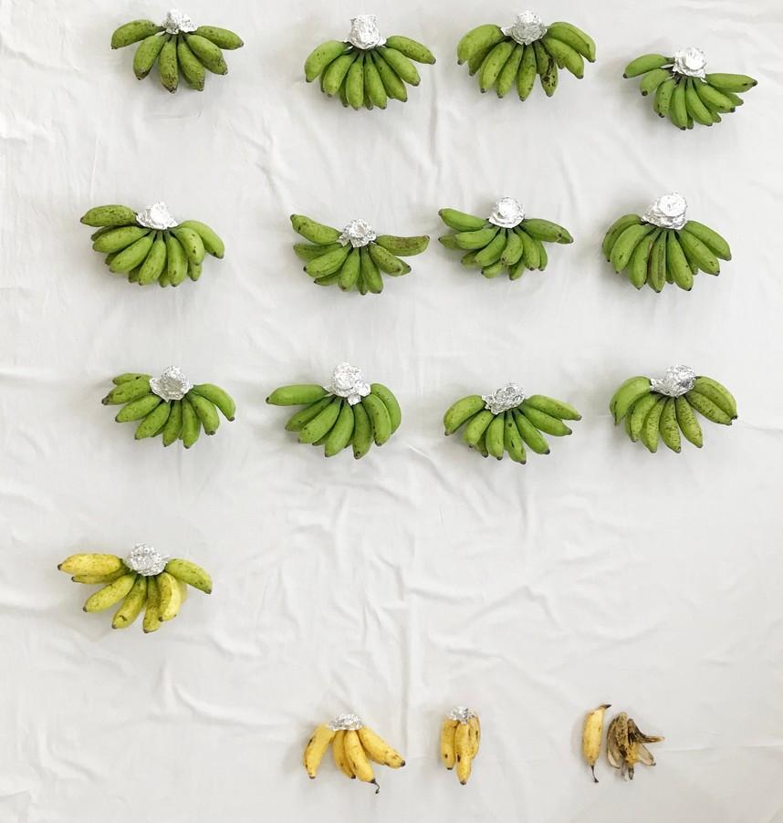 島バナナの茎の切り口にアルミホイルを巻いた状態