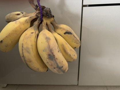 島バナナ研究で、銀バナナを追熟